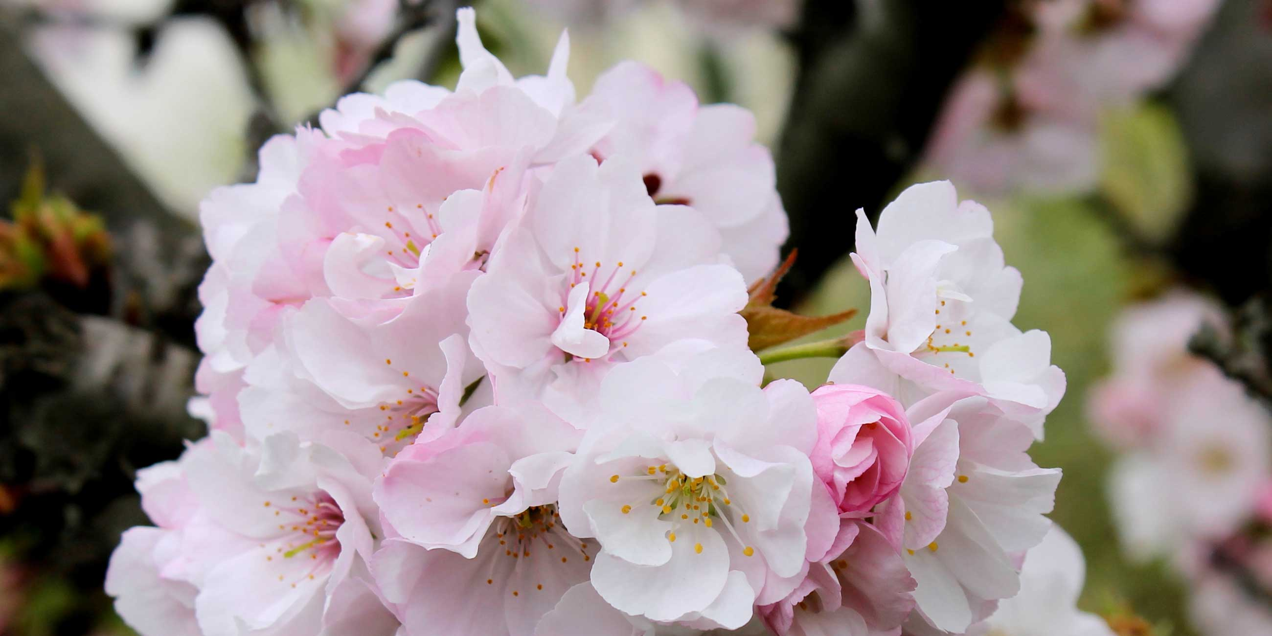Полюбуйтесь нежно-розовыми цветами японской сакуры.Фото: Сергей Казанцев, commons.wikimedia.org