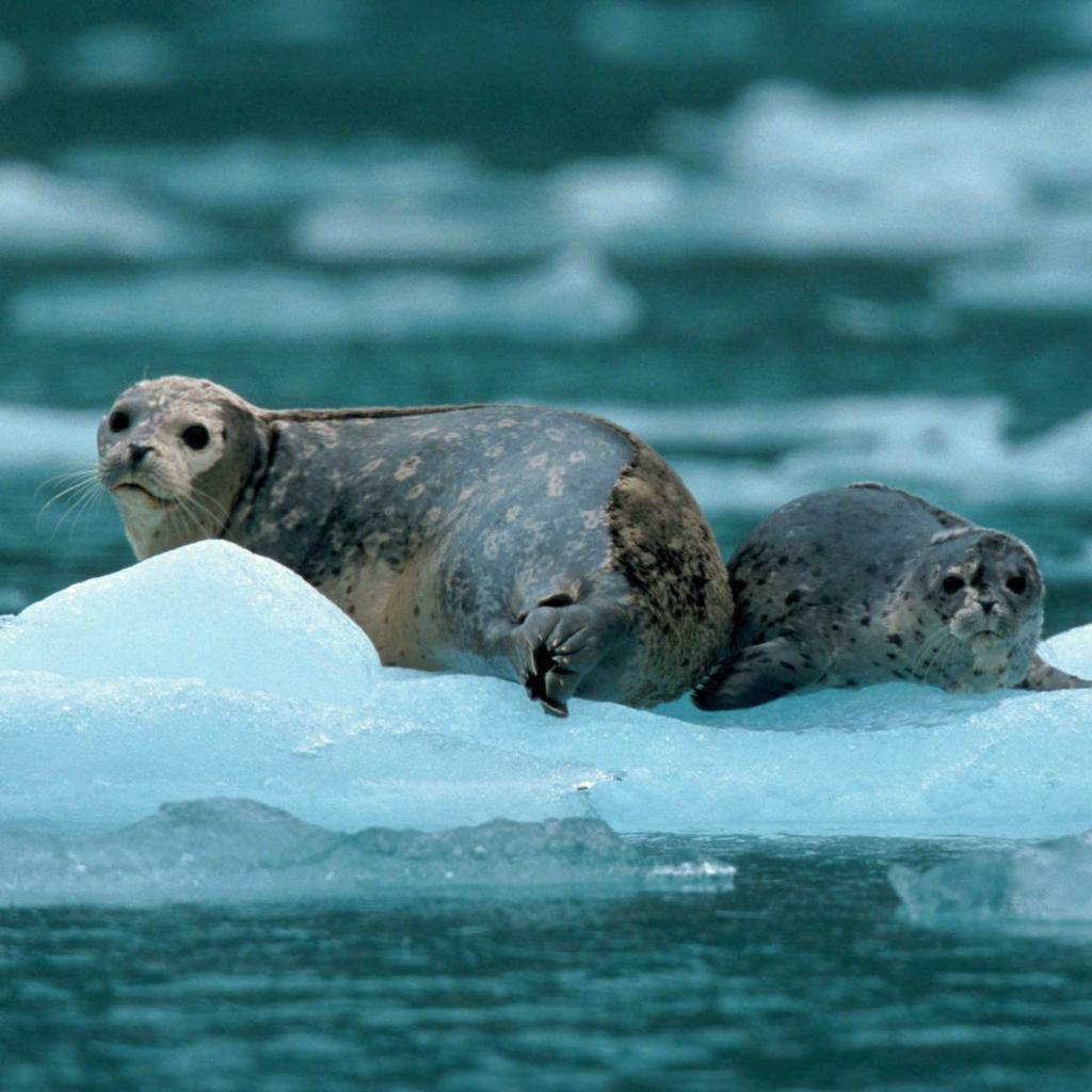 нерпы на льдине